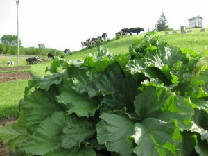 Bumper crop of rhubarb at Amil's Inn Bed and Breakfast!
